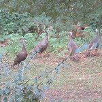Four wild turkeys in the backyard - must be close to Thanksgiving, huh?
